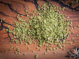 Pyłek z męskich kwiatów konopi Cannabis sativa L.